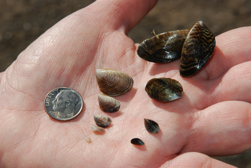 Additional zebra mussels collected in Lakes area